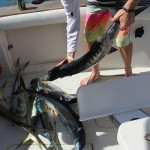 fish wahoo barracuda mahi mahi on the fishing boat Fortuna