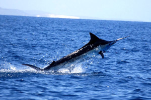 Blue Marlin season in Punta Cana Dominican Republic