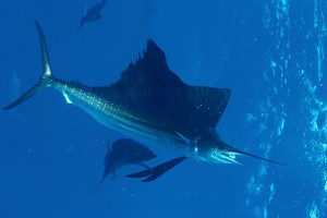 Best Sailfish fishing season Dominican Republic