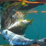 reef fish underwater hunting grouper snapper barracuda